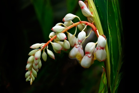 Variegated  Shell  Ginger It s scientific name was called Alpinia zerumbet