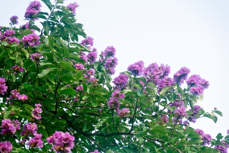indica: Crape myrtle flowers Its scientific name is Lagerstroemia indica flowers