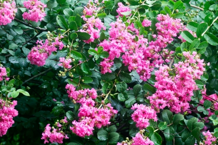 Crape myrtle flowers Its scientific name is Lagerstroemia indica flowers photo