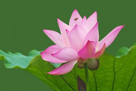 Lotus en plena floraci�n en el verano photo