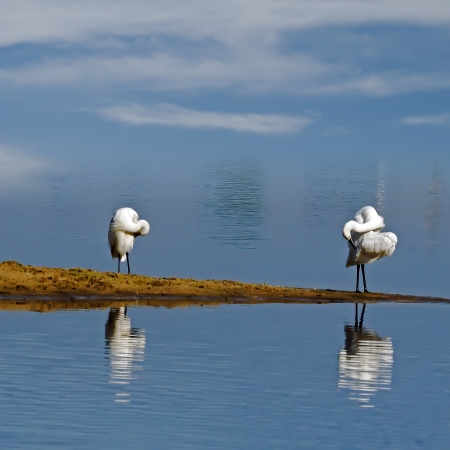 egrets and Wetland photo