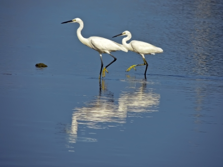 egrets and Wetland