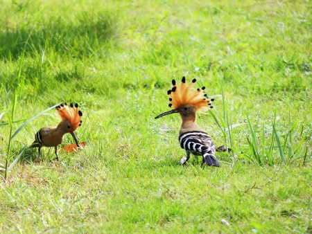 Hoopoe           photo