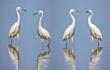 migratory birds: egrets and Wetland