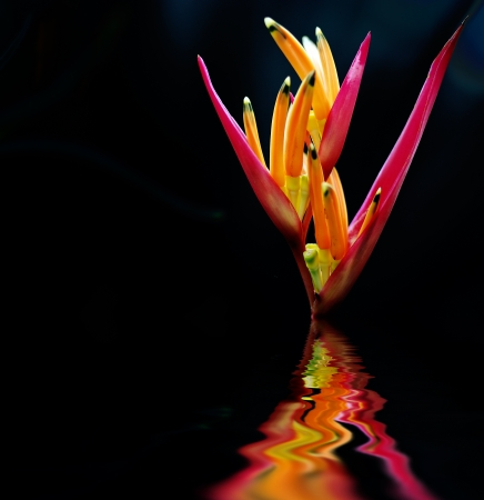 The scientific name of the Bird-of-paradise flower is Strelitzia reginae Banks photo