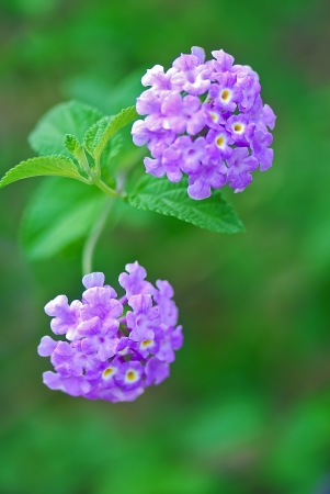 lantana: Common Lantana The scientific name of the Common Lantana flower is Lantana montevidensis Stock Photo
