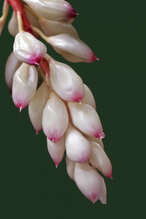 alpinia: Variegated  Shell  Ginger It s scientific name was called Alpinia zerumbet