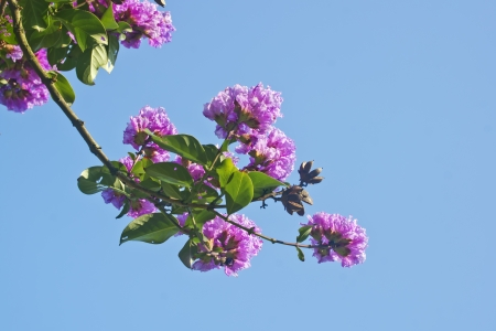 indica: Crape myrtle flowers Its scientific name is Lagerstroemia indica flowers  Stock Photo