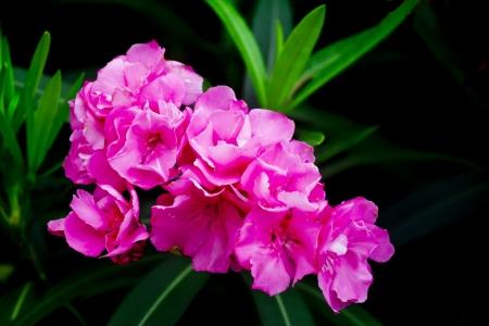 dogbane oleander His scientific name is called Nerium indicum Mill  免版税图像