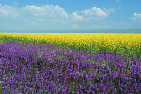 Qinghai Lake views - canola flower fields,Taken in Qinghai Province, China 免版税图像
