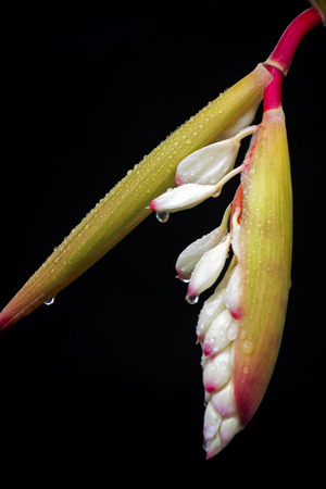 alpinia: Variegated  Shell  Ginger,It s scientific name was called Alpinia zerumbet