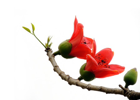 Blossom of Kapok