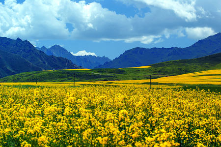 Summer, Menyuan canola flower in full bloom - Taken in Menyuan County, Qinghai Province, China