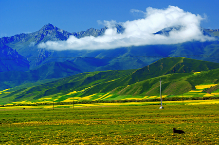 animal husbandry: Summer, Menyuan canola flower in full bloom - Taken in Menyuan County, Qinghai Province, China