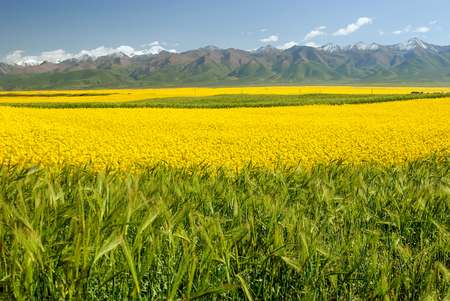 canola  flower in full bloom Taken in Menyuan County Qinghai Province China
