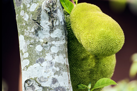ornamental horticulture: Close up to a jackfruit growing on a tree Stock Photo