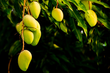 ornamental horticulture: Close up to mangoes growing on a tree Stock Photo