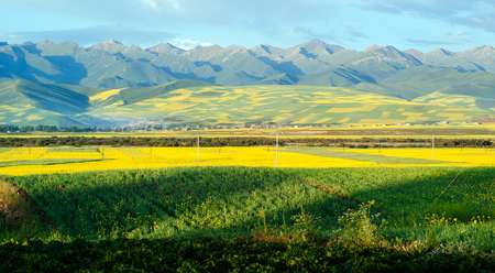 Menyuan canola Summer flower in full bloom , Qinghai Province China