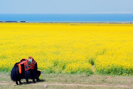 Qinghai canola flower bloom,  Qinghai Province China