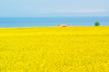 Lake Summer Qinghai canola flower , Qinghai Province China 免版税图像