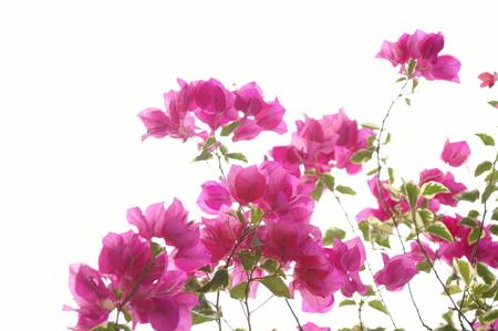 bougainvillea: Bougainvillea spectabilis Willd Bougainvillea