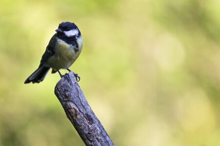 Nice small bird, called Great Tit (parus major) posed over a branch, with an out of focus background.