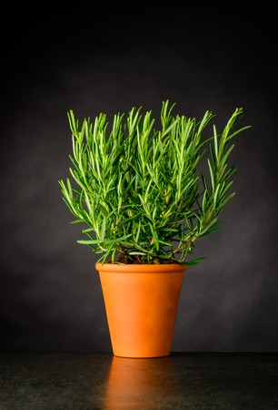 Fresh Rosemary Culinary Plant Growing in Pottery Pot Stock Photo