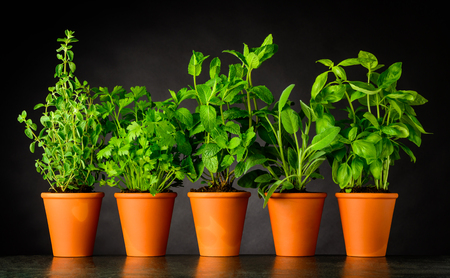 Green Herbs in Pottery Pots. Culinary Oregano, Parsley, Mint, Sage and Basil Growing. Stock Photo - 80030559