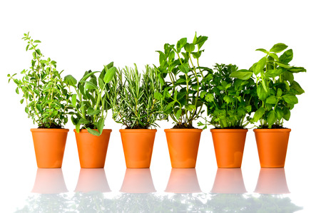 Different Culinary Herbs Growing in Pottery Pots on White Background. Oregano, Sage, Rosemary, mint, Parsley and Basil, each in separate Pot Stock Photo - 80016099