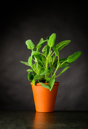 Fresh Sage Plant Growing in Pottery Pot. Culinary Herb Stock Photo - 80030780