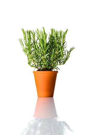 Organic Rosemary Plant Growing in Pottery Pot and Isolated on White Background Stock Photo - 79964194