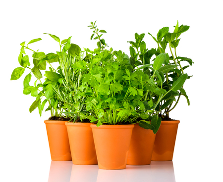 Culinary Green Herbs Growing in Pottery Pots on White Background. Parsley, Rosemary, Sage and basil
