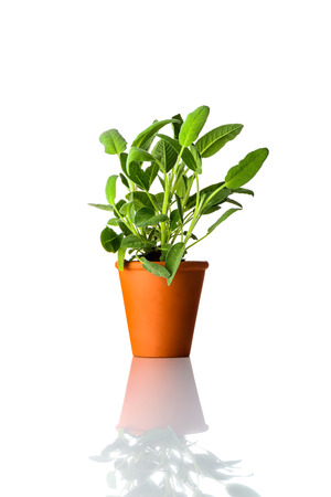 Green Sage Plant Growing in Pottery Pot Isolated on White Background
