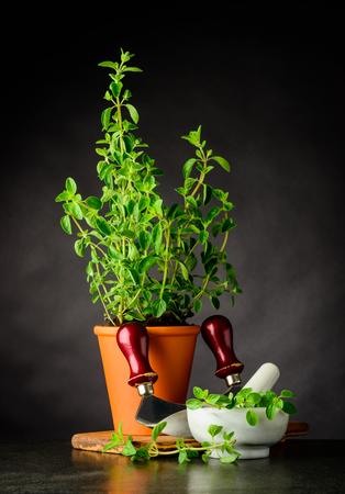 Green Fresh Oregano Herb Plant Growing In Pottery Pot with Mezzaluna Herb Chopper. Stock Photo - 80030672
