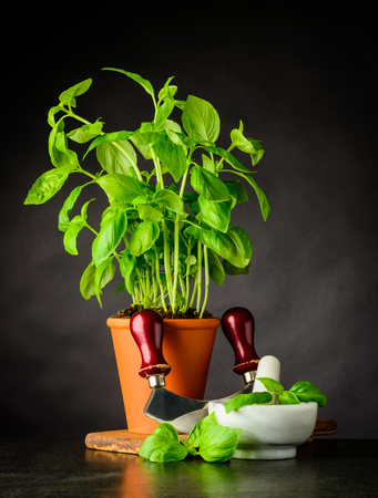 Basil Culinary Herb with Mezzaluna Herb Chopper and Pestel and Mortar Stock Photo