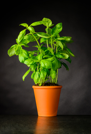 Green Organic Basil Plant Growing in Pottery Pot. Culinary Herb.