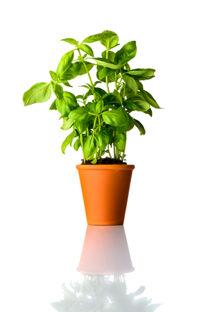 Organic Basil Plant Growing in Pot Isolated on White Background Stock Photo - 79965604