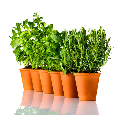 Rosemary, Sage and mint Culinary Herbs in Pottery Pot on White Background Stock Photo