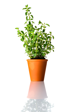 Oregano Plant Growing in Pot Isolated on White Background