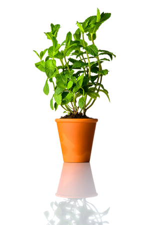 Green and Fresh Mint Plant growing in Pot Isolated on White Background