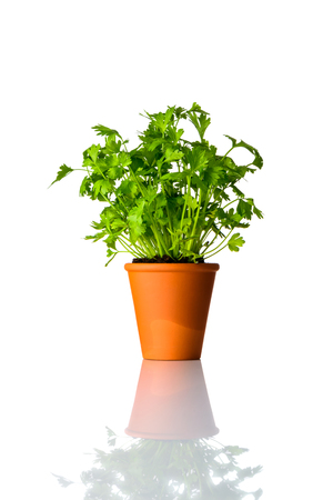 Green Organic Parsley Plant Growing from Pottery Pot Isolated on White Background