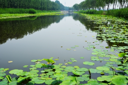 Lily pads on the river