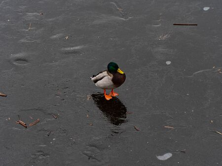 Image of a male and female wild duck on a frozen lake. Representative of birds from the duck family. The bird is medium in size with a relatively short neck, foregrip and plumage.