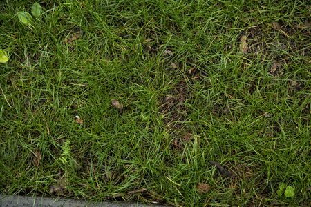 The texture of the green lawn. Background image of green fresh grass