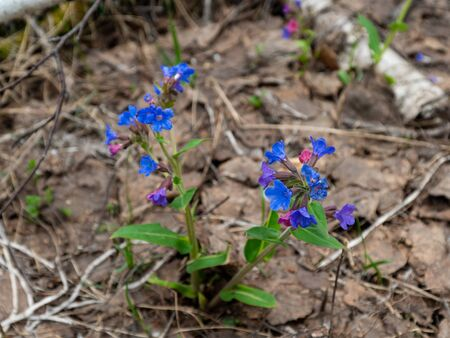 Image of a blue flower. Flower in the spring forest. Little flowers. Spring plants. Blurred background. Green vegetation. Flowers make their way through dried leaves. Plants come to life in spring. Imagens