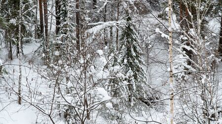 Landscape winter coniferous forest in the mountains. Cold snowy morning on a mountain cliff. Trees covered with snowdrifts. Russia, Siberia, Altai Territory, Belokurikha. Imagens