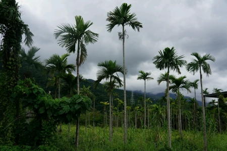 Coconut Tree Farm Archivio Fotografico