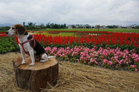 Beagle in front of garden full of flower Archivio Fotografico
