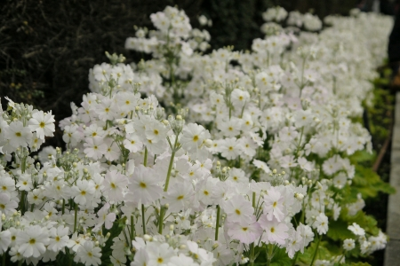 White flowers in garden