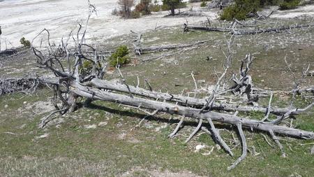 arboles secos: Gray cayó árboles muertos Foto de archivo